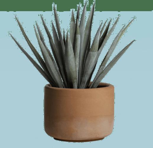Planta Agave azul