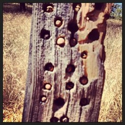 Stuffed acorns into holes drilled by woodpeckers in old fence post.