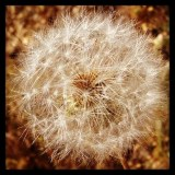 Fluffy seed head along the trail.