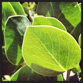 Manzanita leaves lit up by afternoon sun.