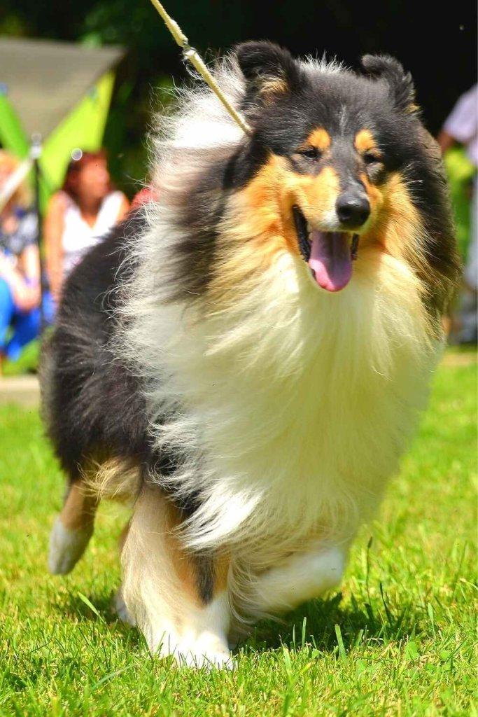 raça de cachorro Rough Collie