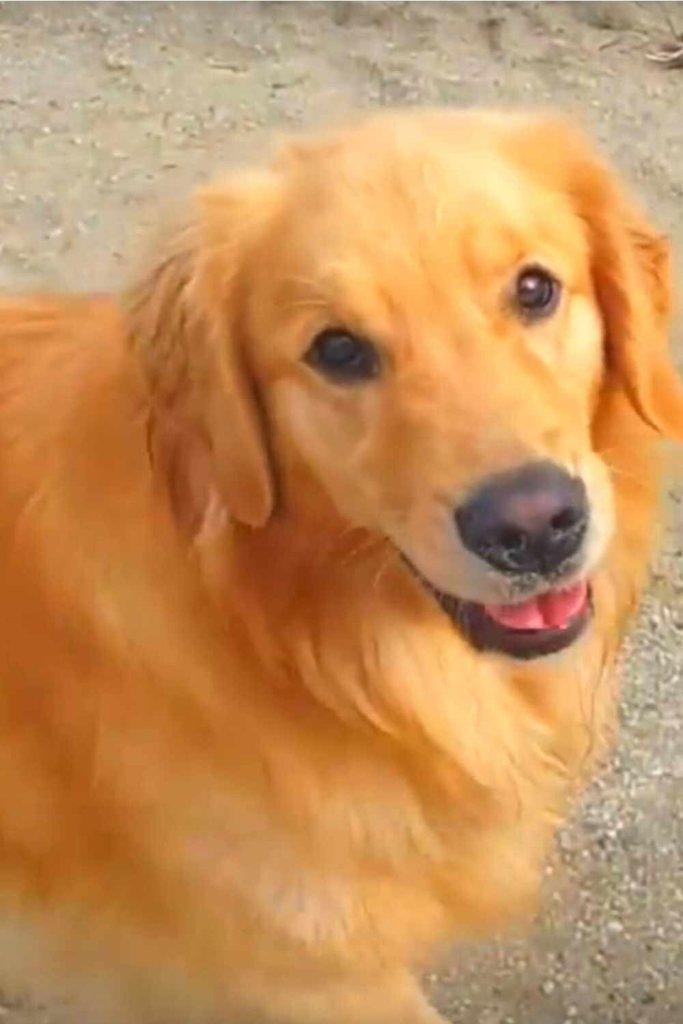raça de cachorro golden retrievier