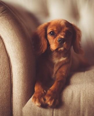 Cachorro de perro acostado sobre sofá