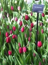 Fuchsia pink tulips
