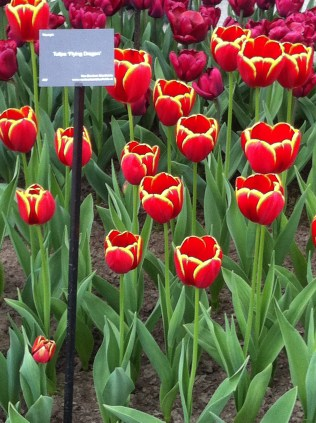 Red tulips with yellow edging