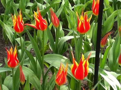 Red lily-flowering tulips with yellow edging