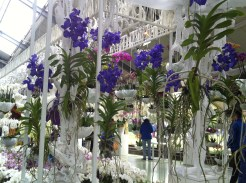 Purple 'butterfly' orchid display at the Keukenhof