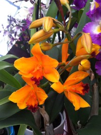 Yellow orchid with red tongue