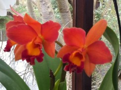 Sunset-coloured orchids, orange and dark pink