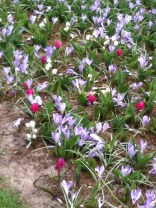 Pale purple crocus mixed with dark pink early tulips at the Keukenhof