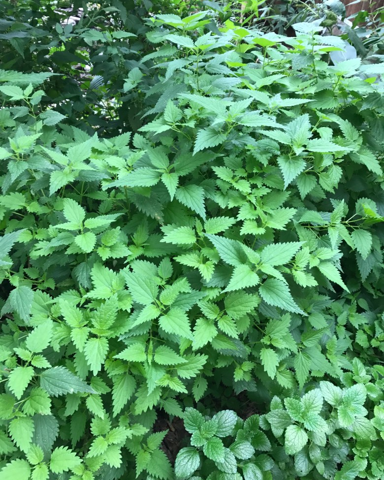 Stinging Nettle-Urtica dioica for Good Health
