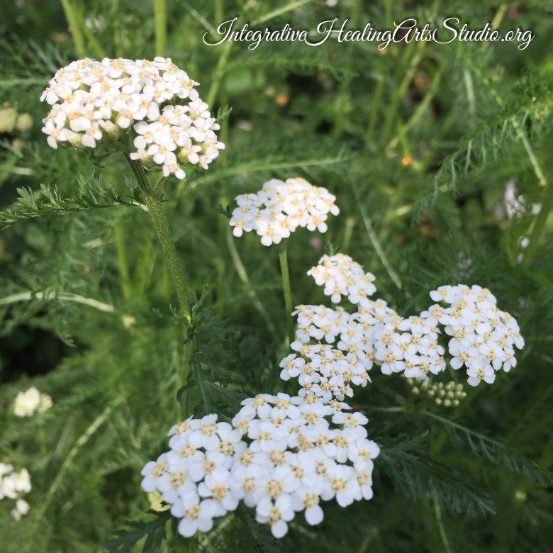 Flower Therapy Sessions at the Integrative Healing Arts Studio~Featured Flower Yarrow