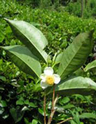 photo: tea shrub