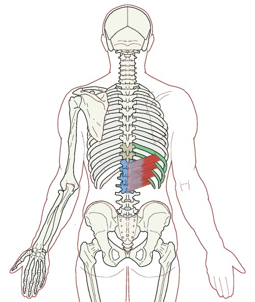 Serratus Posterior Inferior – Functional AnatomyIntegrative Works ...