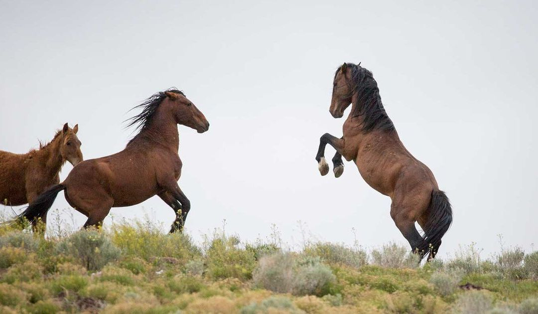 Trump budget plan could lead to slaughter of thousands of wild horses