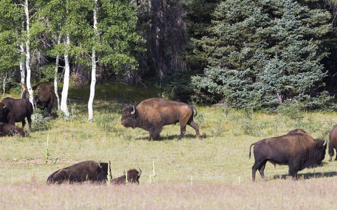 Should they stay or should they go? Park Service seeks input on Grand Canyon bison herd