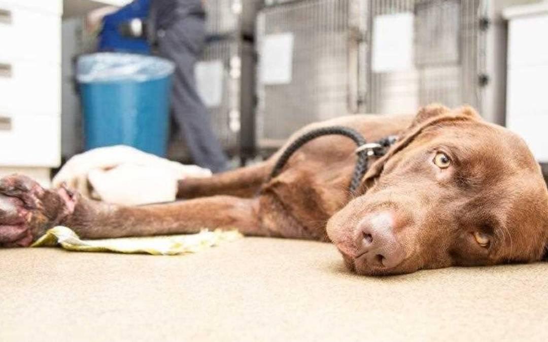 Arizona Humane Society clarifies why it euthanized abused dog found along Beeline Highway
