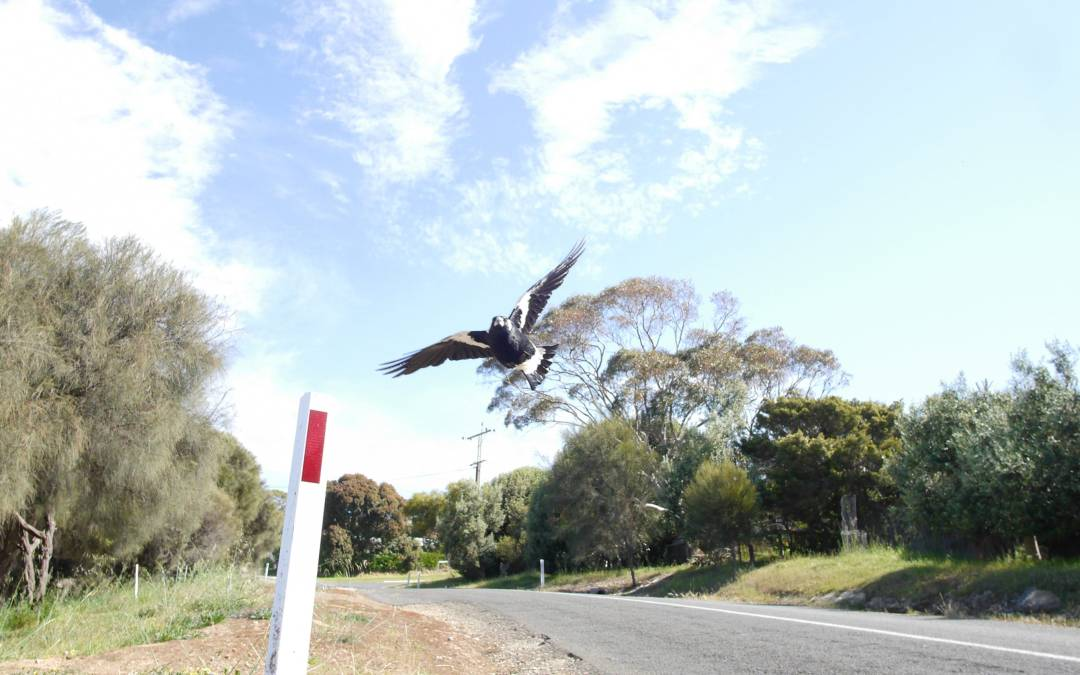 Swooping magpie in Australia attacks cyclist who dies fleeing: police