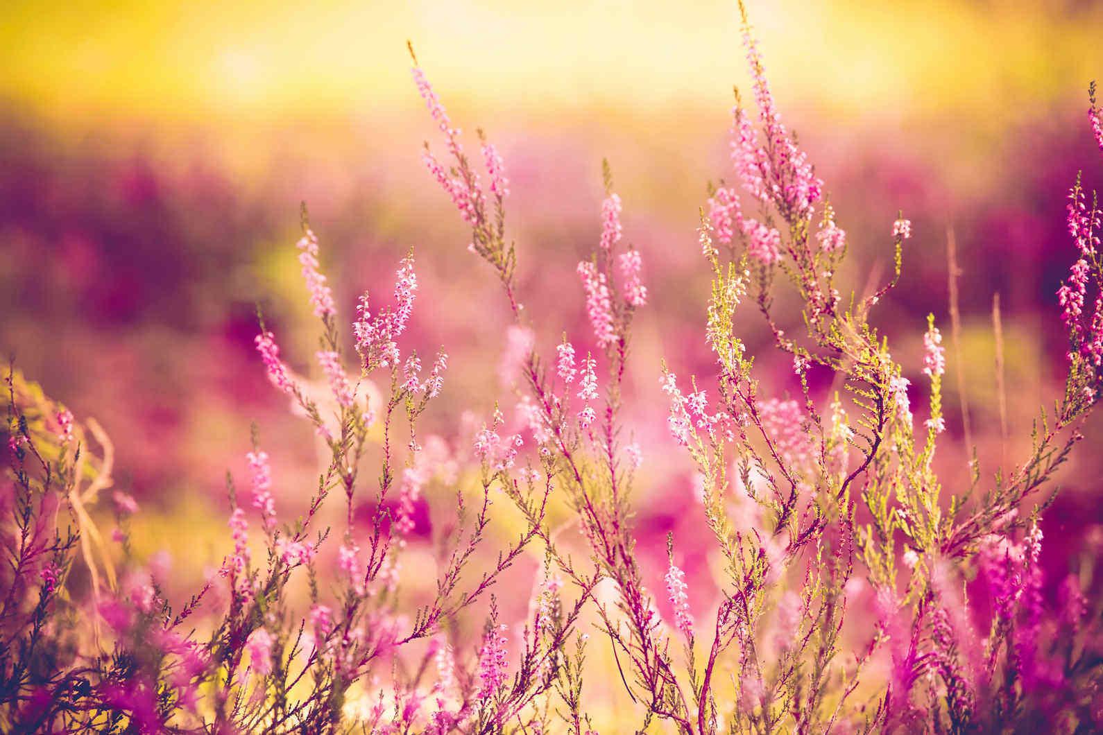 close up of purple heather wildflowers