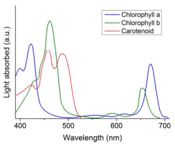 Figura 1: Espectro de absorção da clorofila e dos pigmentos antenas
