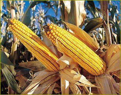 Entenda o que é área de refúgio e porque deve ser feita no milho Bt