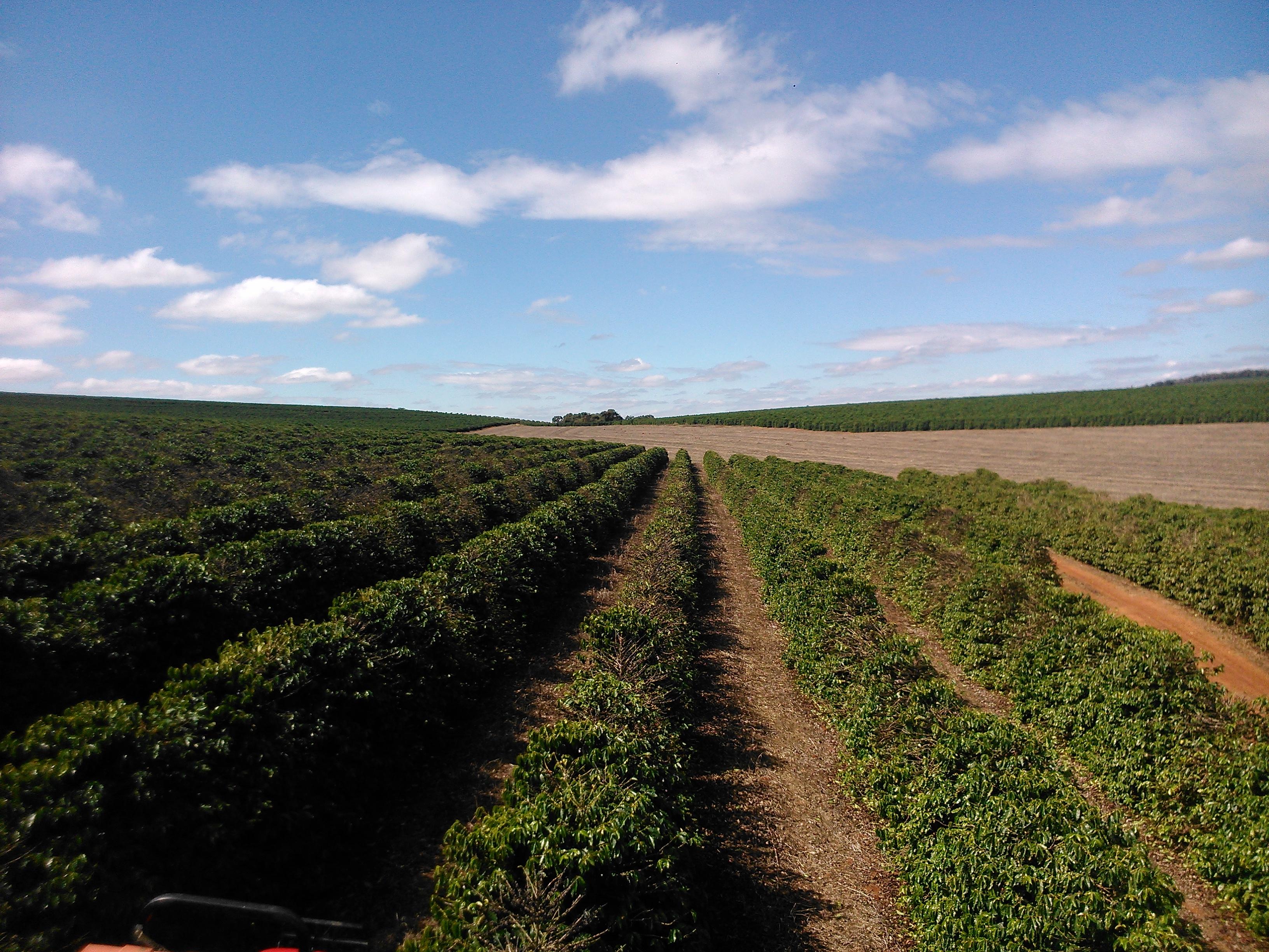 A colheita do café está quase finalizando na maior parte do estado de SP e MG