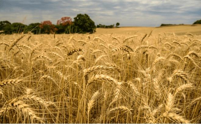 Safra recorde de trigo no Paraná