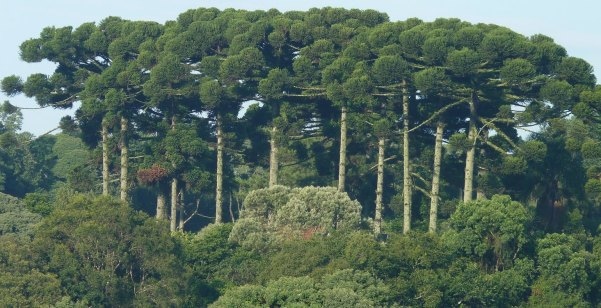 Floresta Ombrofila Mista