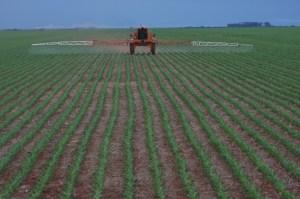 area-plantada-de-milho-esta-comprometida-em-mt-12112014075524