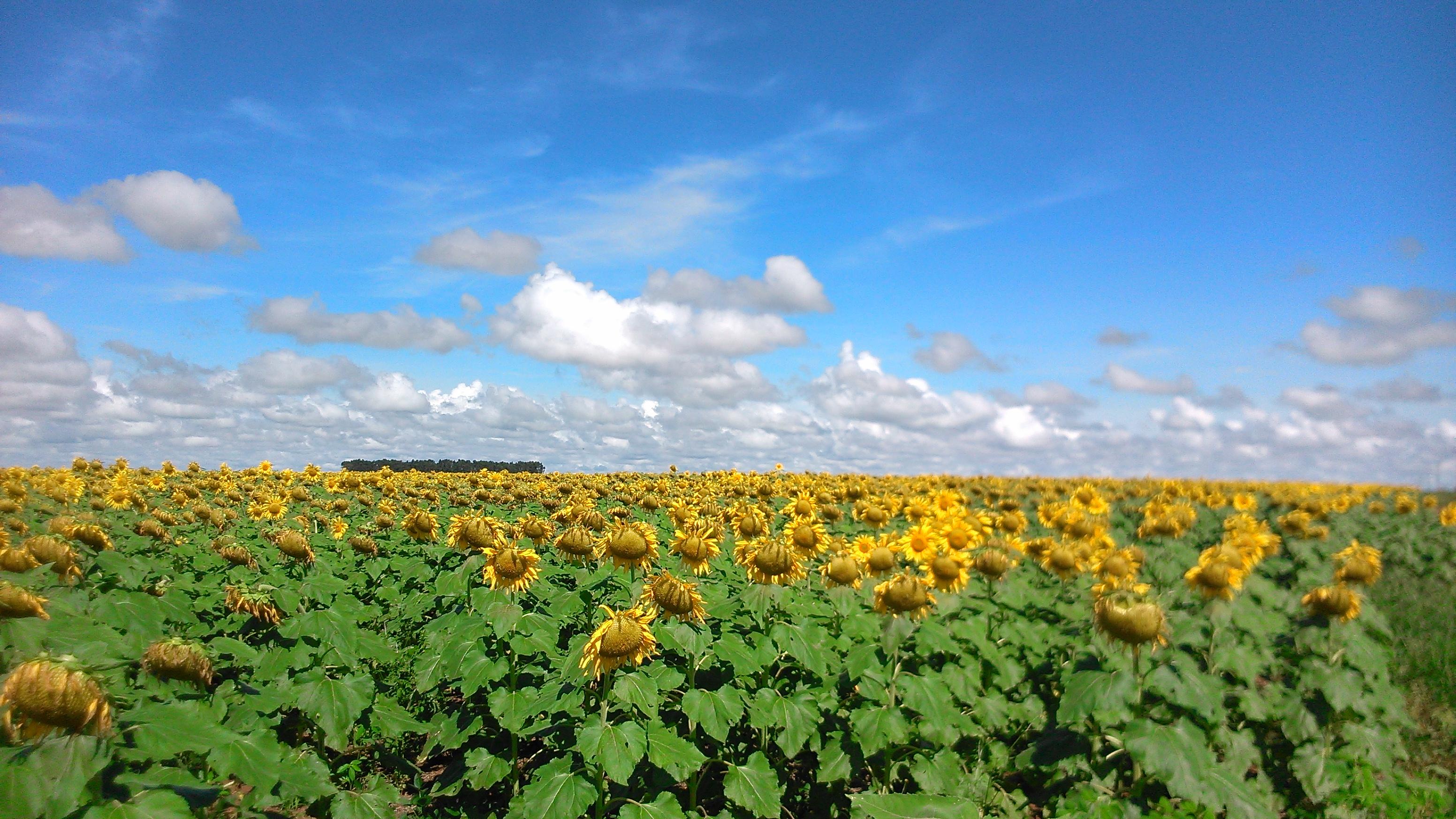 Conheça a flor que possui capítulo e produz óleo de alta qualidade