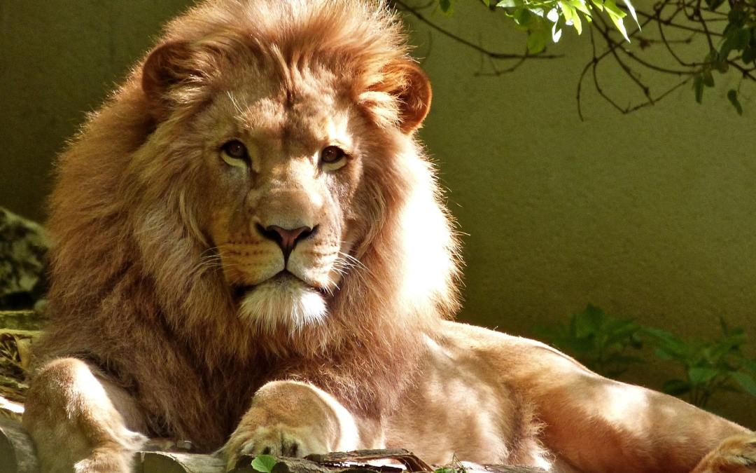 The King of the Jungle: The Lion