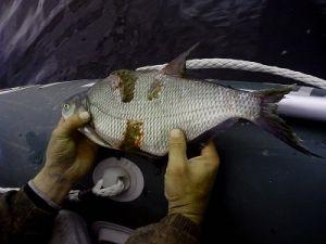Болезни рыб (речных и пресноводных): фото с описанием ...