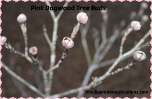 Pink Dogwood bud. intelligentdomestications.com