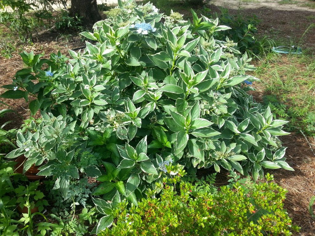 a small Hydrangea not in full bloom