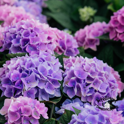 The Surprising Reason My Hydrangea Wouldn't Bloom