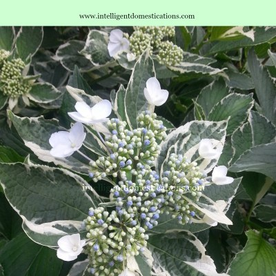 Why My Hydrangea's Wouldn't Bloom