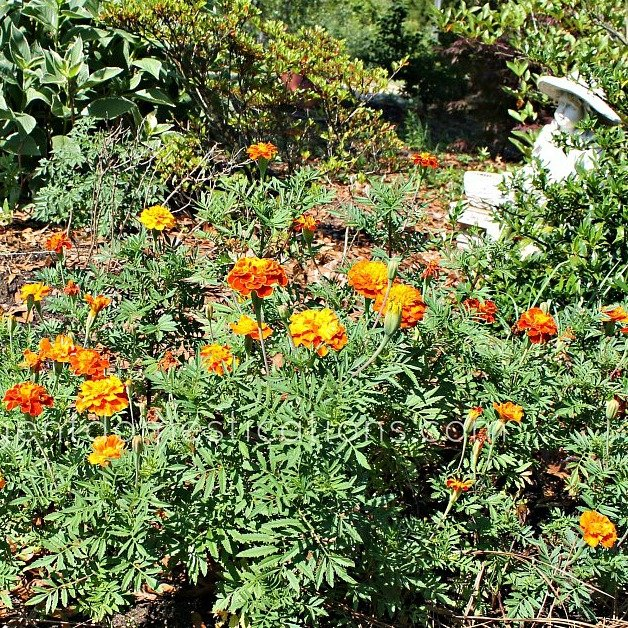 How to grow marigolds from seed to bloom. How to grow marigolds. Marigold flowers blooming in the yard