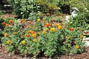 Marigold flower bed in my yard.intelligentdomestications.com