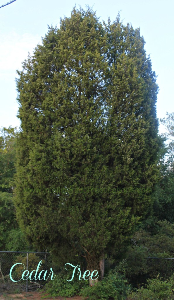Cedar tree in front yard.www.intelligentdomestications.com