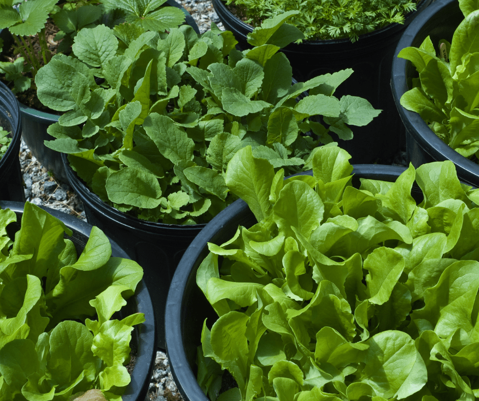 lettuce growing in containers