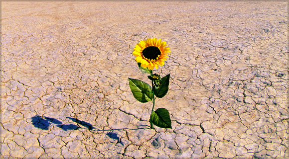 Sunflower in desert