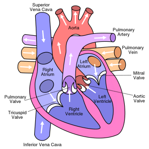 Show me a diagram of the human heart? Here are a bunch
