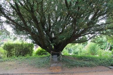 Grave under yew tree