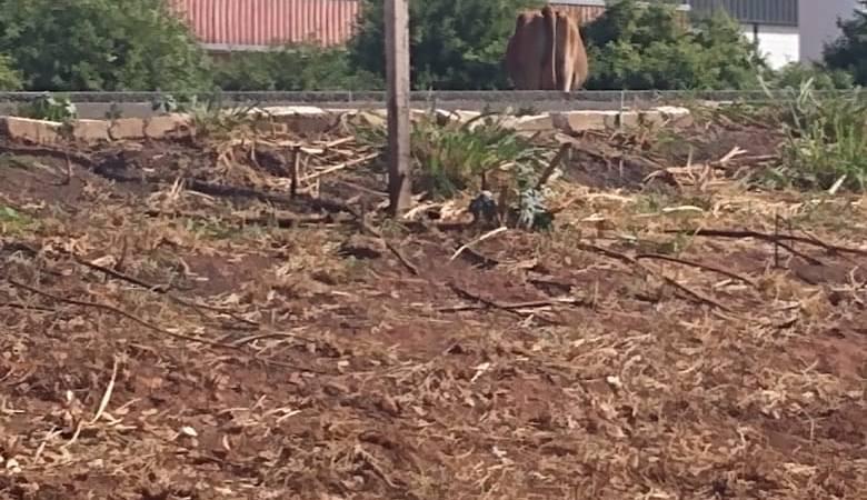 Bovinos são flagrados no meio da pista na BR 158 em Paranaíba