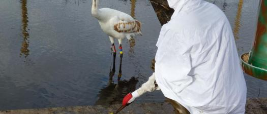 whooping crane3