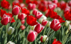 High-resolution desktop wallpaper Tulips In Spring by typecase