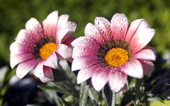 High-resolution desktop wallpaper Morning Dew by kevlue