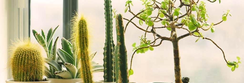 tanaman hias berduri