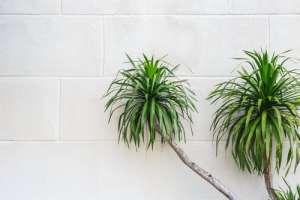 10 luchtzuiverende planten Dracaena marginata
