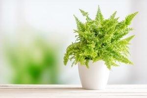 10 luchtzuiverende planten krulvaren